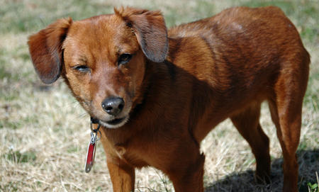 Bailey the Dachshund Mix Pictures 888158