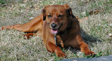 Bailey the Dachshund Mix Pictures 888159