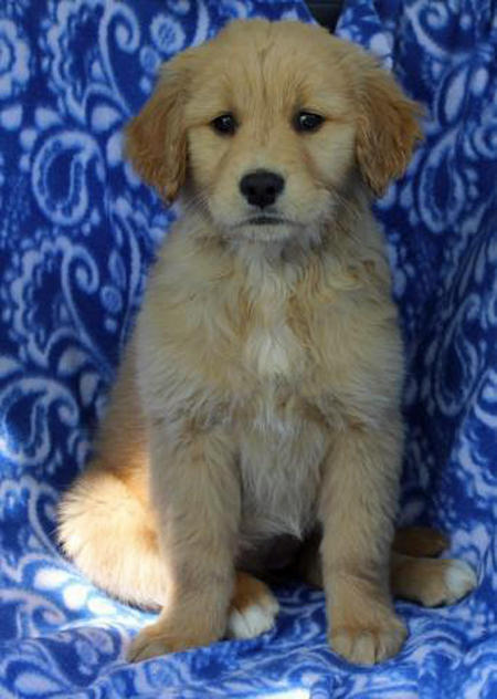 Bailey the Golden Retriever Pictures 937345