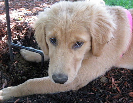 Bailey the Golden Retriever Pictures 912262