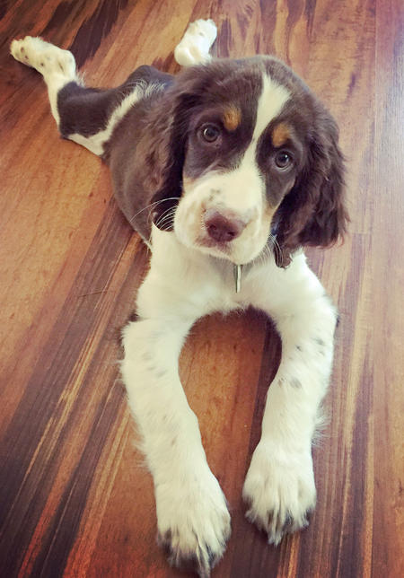 Bailey the Springer Spaniel Pictures 1047611