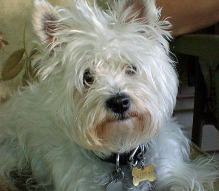 Bailey the West Highland Terrier Mix Pictures 999674