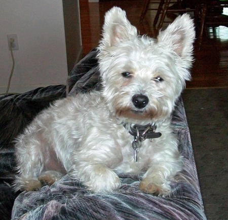 Bailey the West Highland Terrier Mix Pictures 999675
