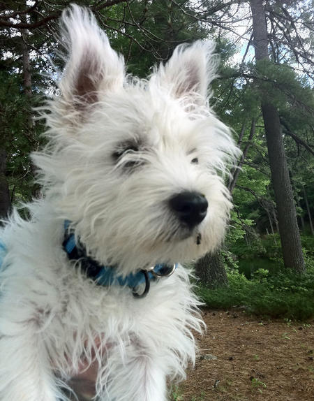 Bairdsly the West Highland Terrier  Pictures 802121