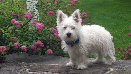 Bairdsly the West Highland Terrier  Pictures 802124