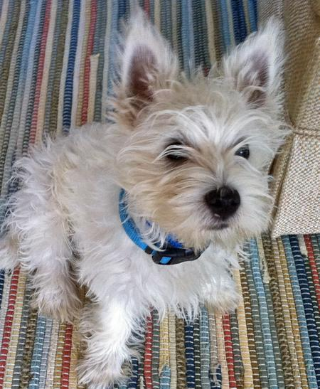 Bairdsly the West Highland Terrier  Pictures 802119