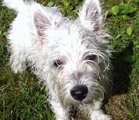 Bairdsly the West Highland Terrier  Pictures 802123