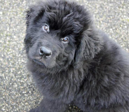Baloo the Newfoundland Pictures 975491