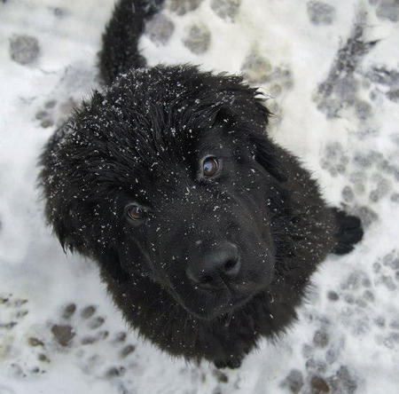 Baloo the Newfoundland Pictures 975486