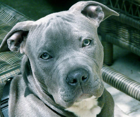 Baloo the Staffordshire Terrier Pictures 471672