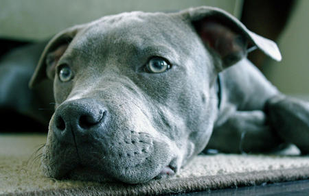 Baloo the Staffordshire Terrier Pictures 471675