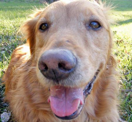 Balto the Golden Retriever Pictures 886113