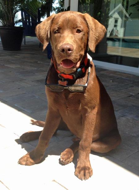 Bama the Labrador Retriever Pictures 992303