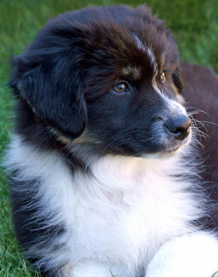 Bandit the Australian Shepherd Pictures 982241