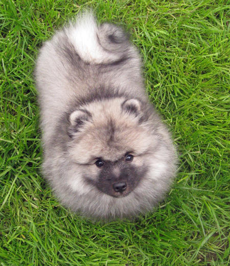 Banjo the Keeshond Pictures 770620