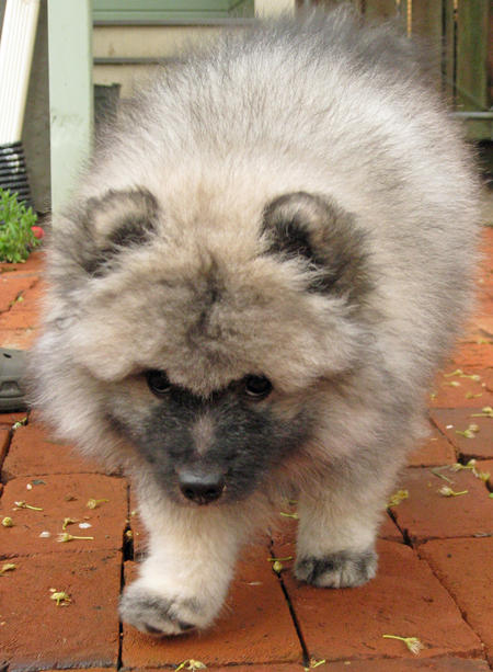 Banjo the Keeshond Pictures 770621