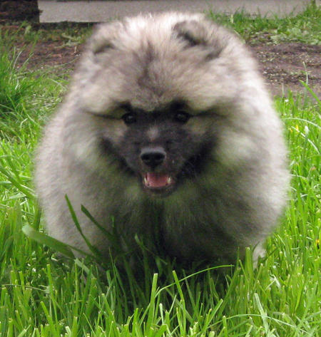 Banjo the Keeshond Pictures 770622