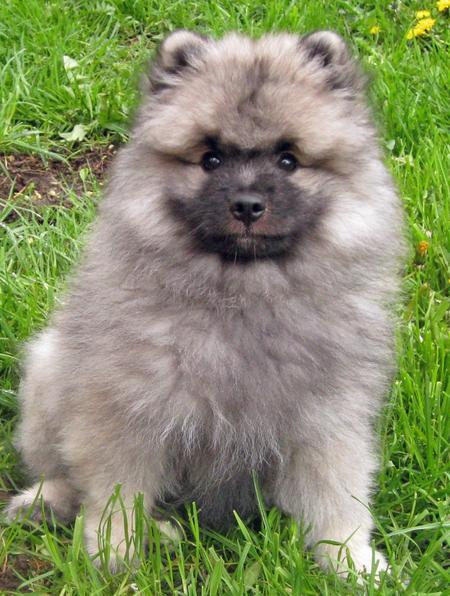 Banjo the Keeshond Pictures 770624