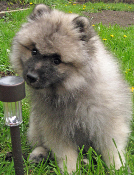 Banjo the Keeshond Pictures 770625