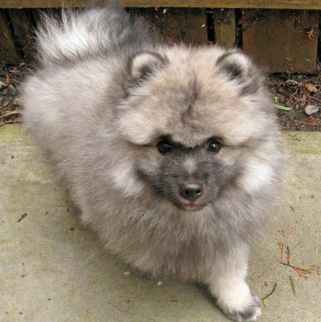 Banjo the Keeshond Pictures 770619