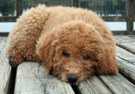 Banjo the Labradoodle Pictures 755780