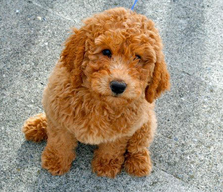Banjo the Labradoodle Pictures 755781