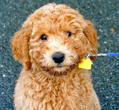 Banjo the Labradoodle Pictures 755778