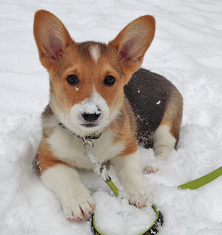 Barkley the Pembroke Welsh Corgi Pictures 1004970