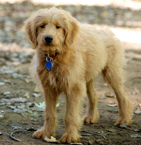 Barley the Goldendoodle Pictures 936060