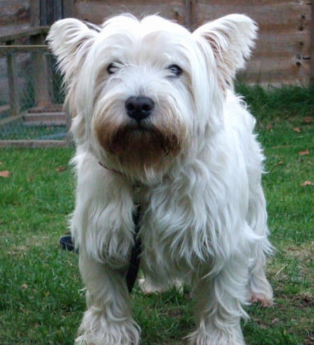 Barney the West Highland Terrier Pictures 782093