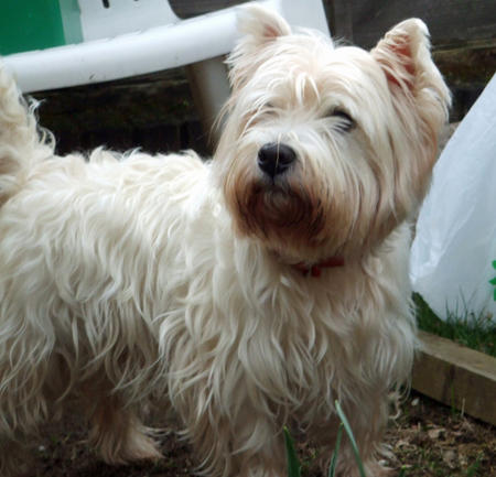 Barney the West Highland Terrier Pictures 782097