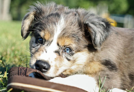 Basil the Australian Shepherd Pictures 642950