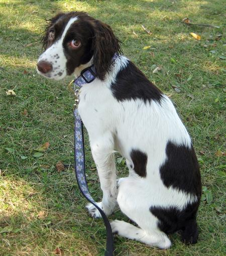 Bayleigh the English Springer Spaniel Pictures 966484