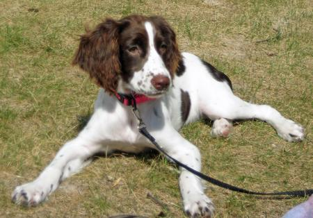 Bayleigh the English Springer Spaniel Pictures 966485