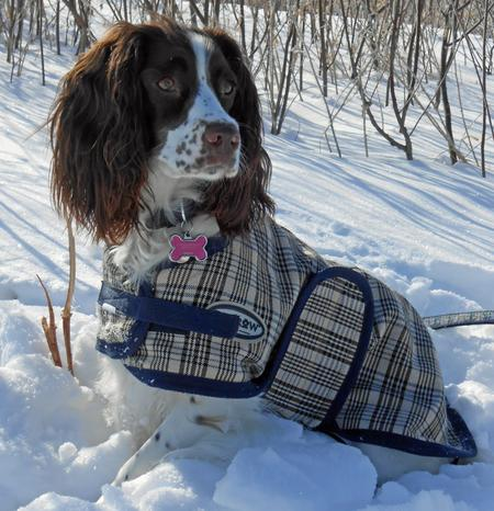 Bayleigh the English Springer Spaniel Pictures 966487