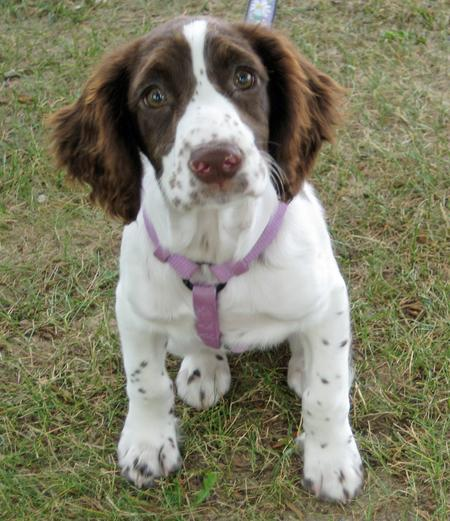 Bayleigh the English Springer Spaniel Pictures 966482