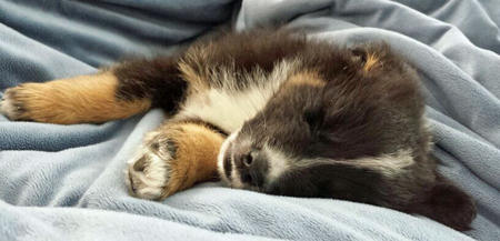 Bear the Australian Shepherd Pictures 874010