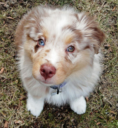 Bear the Australian Shepherd Pictures 874006