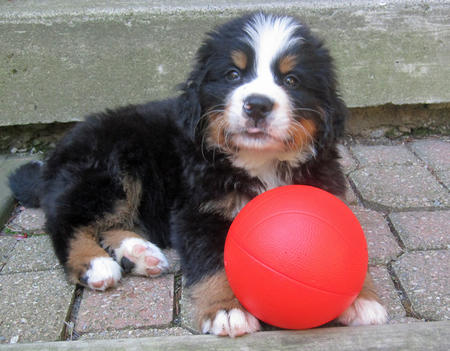Bear the Bernese Mountain Dog Pictures 632702