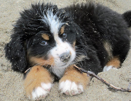Bear the Bernese Mountain Dog Pictures 632703