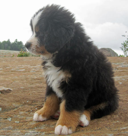 Bear the Bernese Mountain Dog Pictures 632706