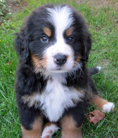 Bear the Bernese Mountain Dog Pictures 632700
