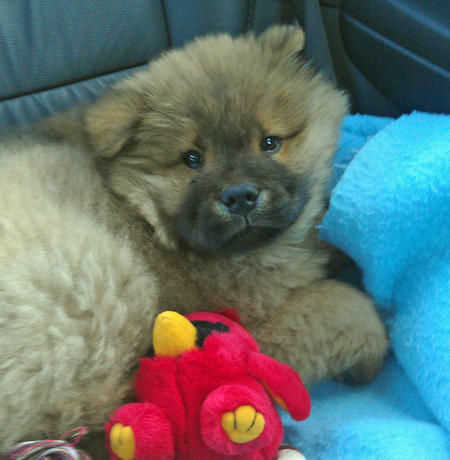 Bear the Chow Chow Pictures 1053654