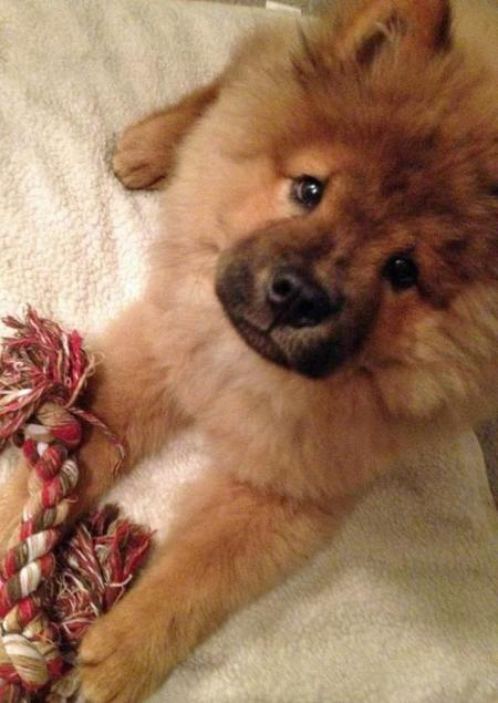 Bear the Chow Chow Pictures 1053656