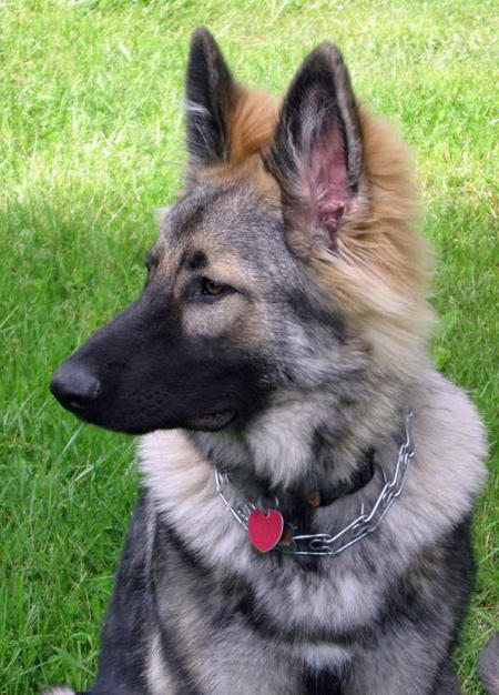 Bear the German Shepherd Pictures 1018274