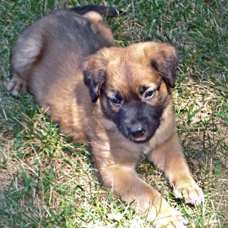 Bear the German Shepherd Mix Pictures 620261