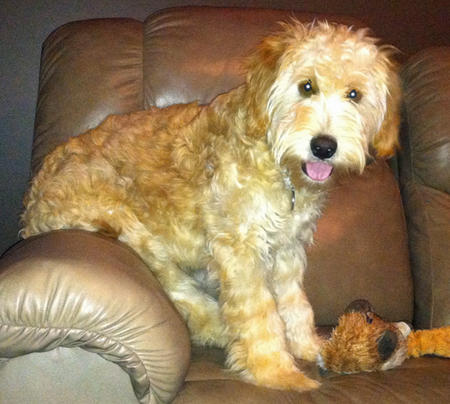 Bear the Goldendoodle Pictures 1045019