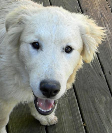 Bear the Great Pyrenees Mix Pictures 987831