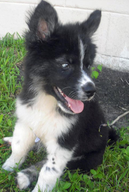 Bear the Husky Mix Pictures 909400
