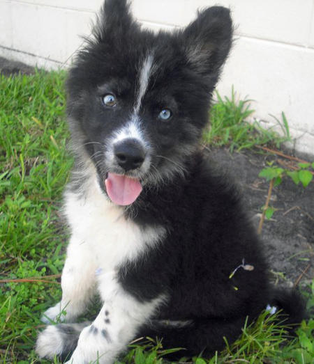 Bear the Husky Mix Pictures 909402